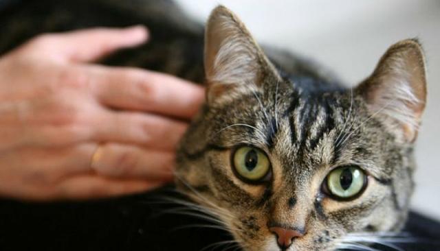 Foto Miasi nel Gatto: cause, sintomi e cure