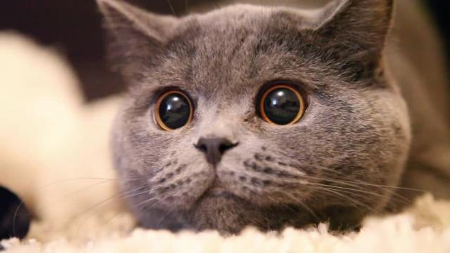 Foto Pupille del Gatto dilatate (Anisocoria)