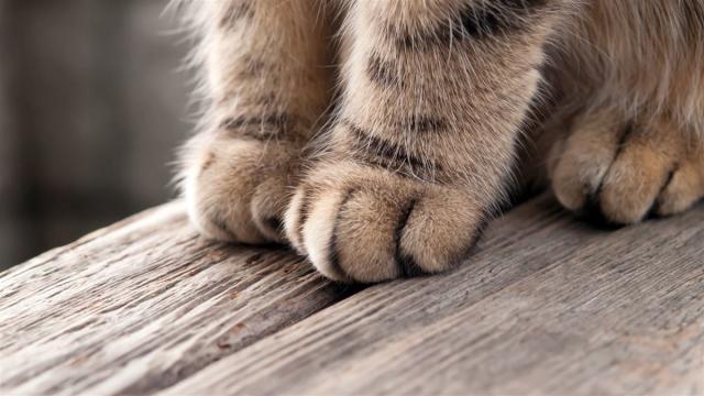 Foto 9 curiosità sulle zampe del Gatto