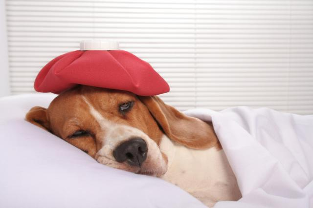 Foto Il Cane ha il raffreddore: sintomi e cure
