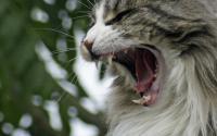 Foto 5 curiosità sui denti del Gatto