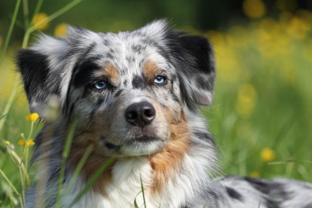 occhi azzurri cane