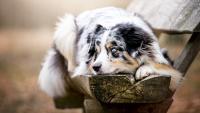 cane con occhi blu