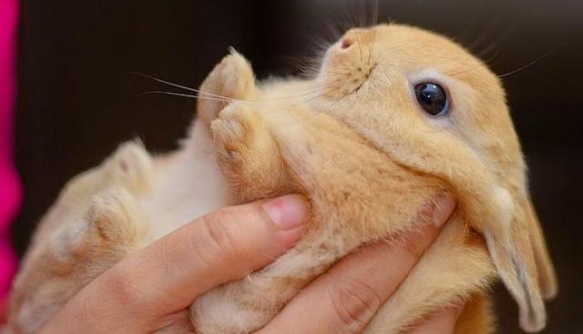 Foto Cure dentali per i Conigli