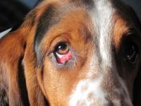 Foto Il cane ha gli occhi rossi (congiuntivite) : sintomi e trattamento