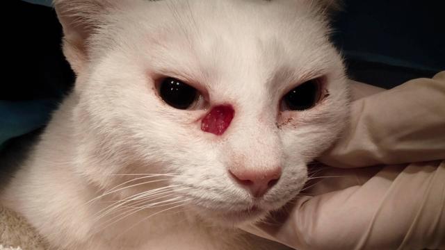 Foto Carcinoma a cellule squamose nei Gatti