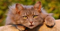 Foto Perchè i Gatti miagolano?