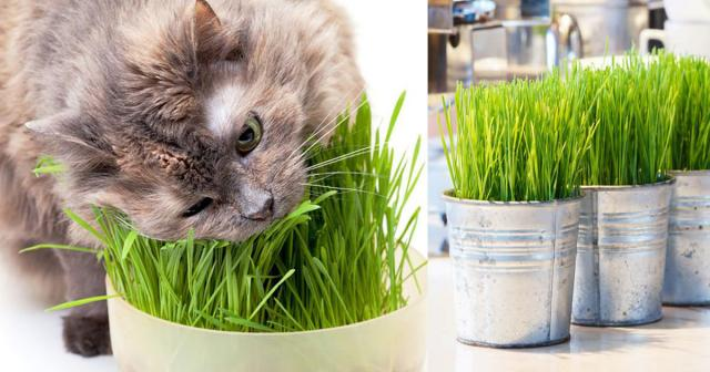 Foto Cat Grass: l'erba per il Gatto