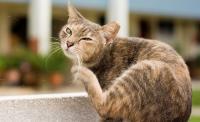 Foto Pelle secca nel Gatto: cause e trattamento