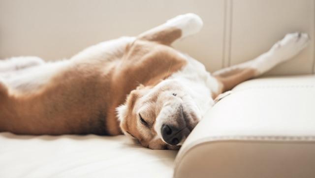 Foto Posizioni e abitudini del Cane mentre dorme