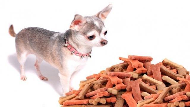 Foto Quanto mangia un cane Chihuahua al giorno?
