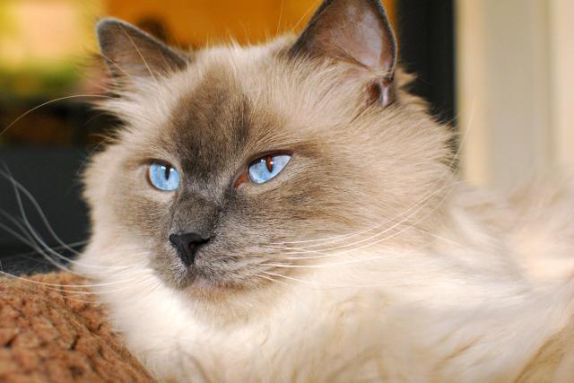 gatto Ragdoll