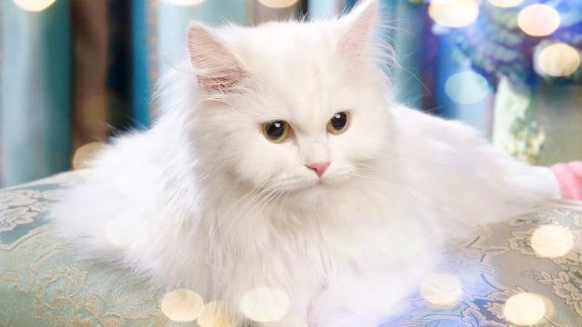 gatto Van Turco