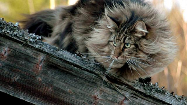 gatto delle foreste norvegesi