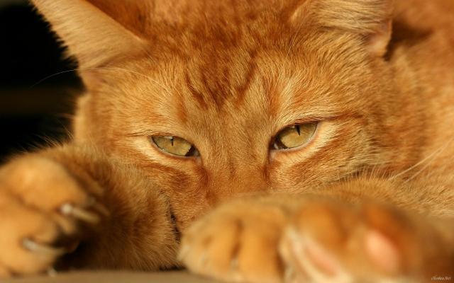 Foto Gatto arancione: carattere e curiosità