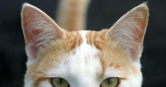 Foto Intolleranza al glutine nel Gatto: sintomi e trattamento