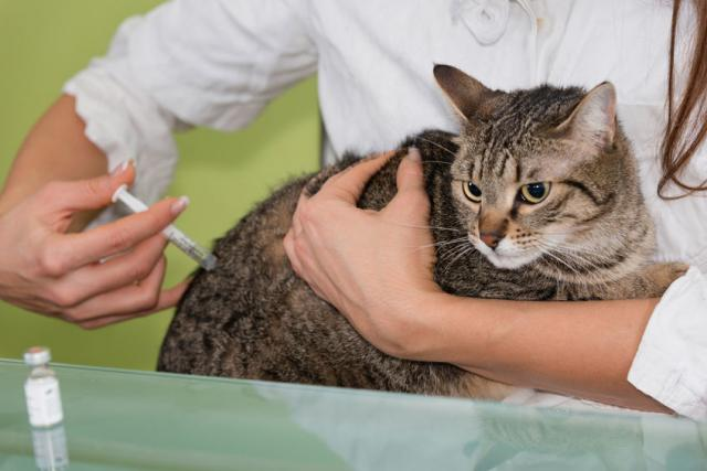 Foto Sverminare il Gatto: alcuni consigli