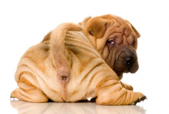 Foto Il Cane si lecca l'ano: cause e trattamento