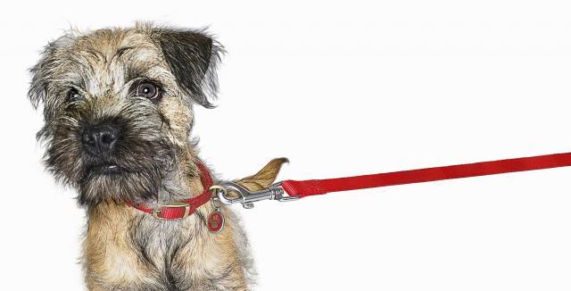 Foto Pericoli del collare per il Cane