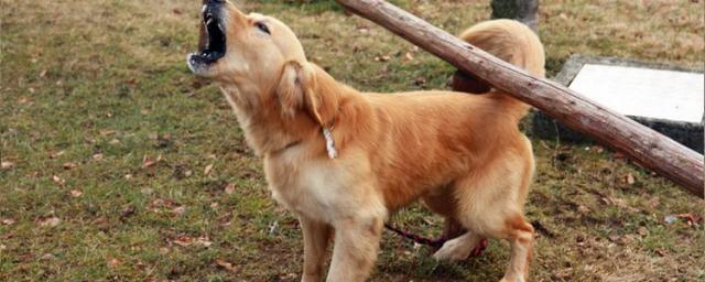 cane lamento