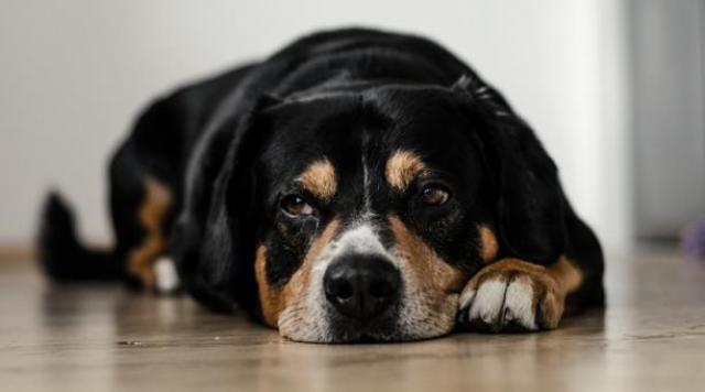 Foto I Cani possono suicidarsi?