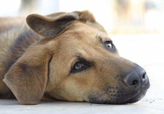 Foto Leptospirosi del Cane e come curarla