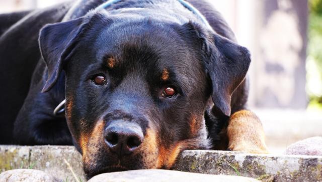 Foto Quanto mangia un Rottweiler?