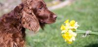 Foto Allergia al polline nel Cane