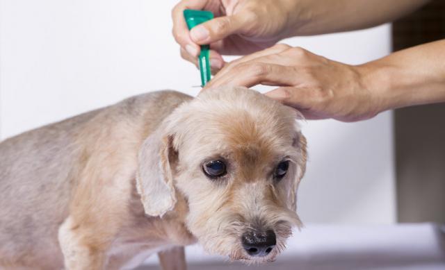 Foto Il mio cane ha le pulci: cosa faccio?