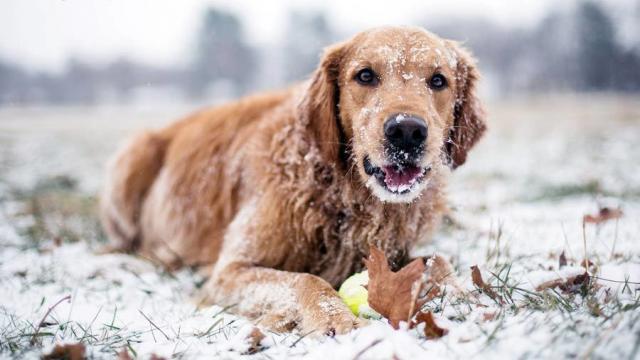 cane mangia neve