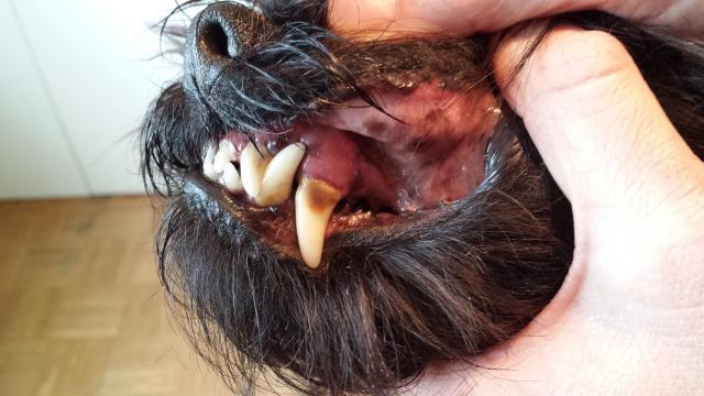 parodontite nel cane