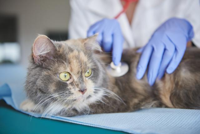 Foto Tumore al cervello nel Gatto: cause, sintomi e cure