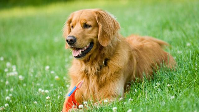 Differenze Tra Labrador E Golden Retriever Mondopetsit