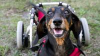 cane paralitico con sedia a rotelle