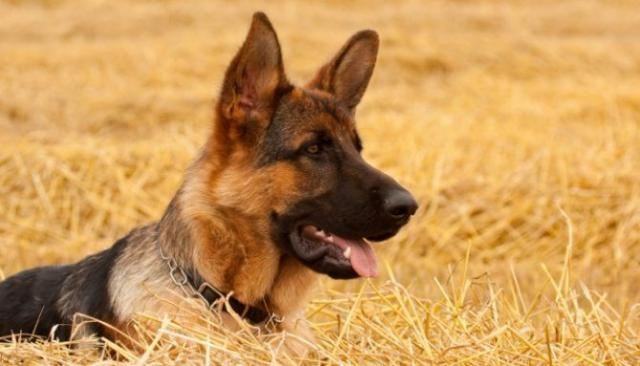 Foto Celiachia nel cane: sintomi e trattamento