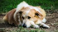Foto Toxoplasmosi nei cani: sintomi e prevenzione