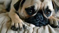 Foto Cane soffre di solitudine: cosa fare?