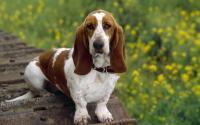 Foto Cani con le orecchie lunghe