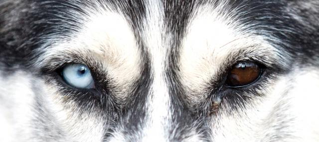 husky occhi bicolore