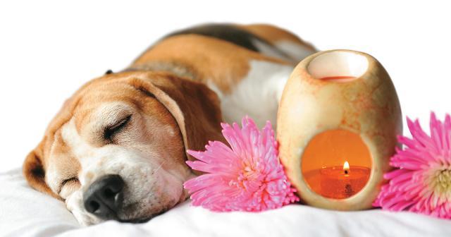 Foto Gli odori che calmano i cani: cocco, zenzero, valeriana, vaniglia
