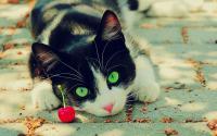 Foto Il Gatto può mangiare ciliegie?