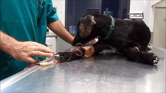 trasfusione sangue cane