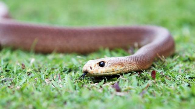 serpente taipan