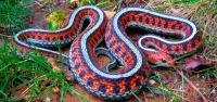 Foto 10 Serpenti più velenosi del mondo