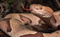 serpente marrone orientale