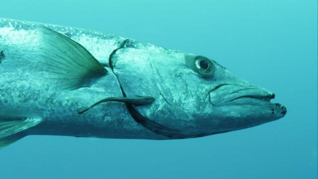 pesce barracuda