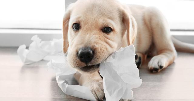 Perch il cane mangia la carta - Cane che mangia a tavola ...