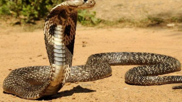 Foto Il Cobra Reale