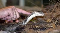 caratteristiche cobra reale