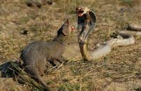 Foto Predatori di serpenti